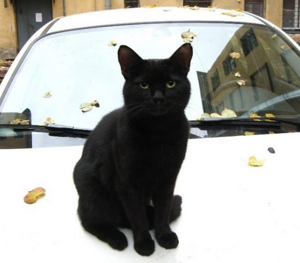 Черный кот на капоте авто